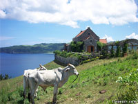 Cattle on Batanes, Philippines