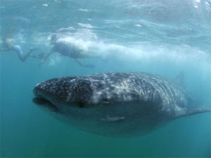 Whale sharks, Donsol, Philippines