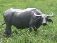 Carabao, the national animal of the Philippines