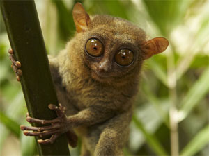 The Philippines Tarsier