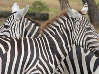 zebra on Calauit island, Philippines